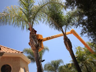Palm Tree Trimming-Carlsbad CA Tree Trimming and Stump Grinding Services-We Offer Tree Trimming Services, Tree Removal, Tree Pruning, Tree Cutting, Residential and Commercial Tree Trimming Services, Storm Damage, Emergency Tree Removal, Land Clearing, Tree Companies, Tree Care Service, Stump Grinding, and we're the Best Tree Trimming Company Near You Guaranteed!